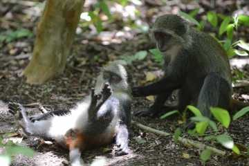 Blue Monkey Grooming || Jozani Chwaka Bay National Park, Zanzibar