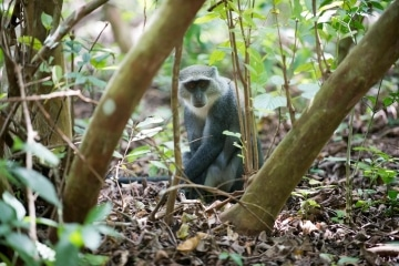 Blue Monkey || Jozani Chwaka Bay National Park, Zanzibar