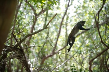 Blue Monkey Leap || Jozani Chwaka Bay National Park, Zanzibar