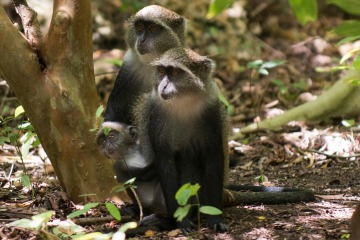 Blue Monkeys || Jozani Chwaka Bay National Park, Zanzibar
