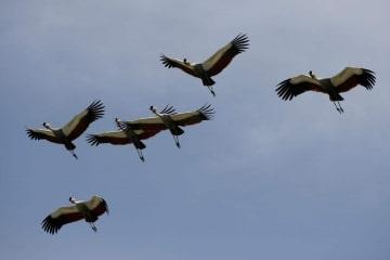 Crested Crane Formation || Ngorongoro Crater, Tanzania