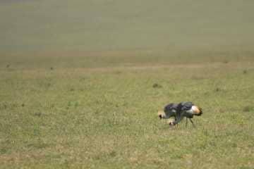 Crested Cranes || Ngorongoro Crater, Tanzania