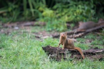 Dwarf Mongoose || Serengeti National Park, Tanzania
