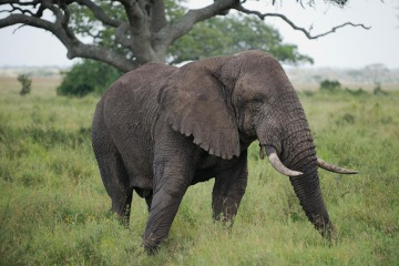 Elephant || Serengeti National Park, Tanzania