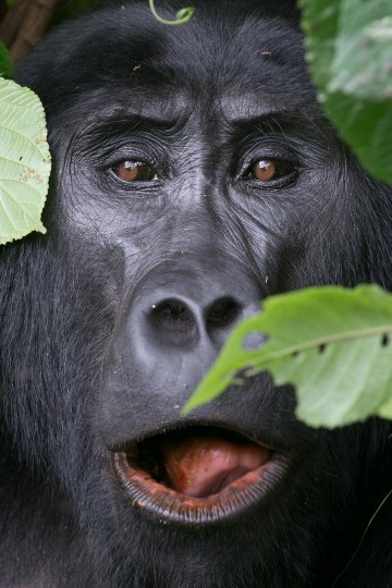 Eyes of a Kahungye Gorilla || Bwindi Impenetrable National Park, Uganda