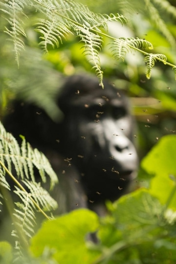 Flies Surround a Kahungye Gorilla || Bwindi Impenetrable National Park, Uganda