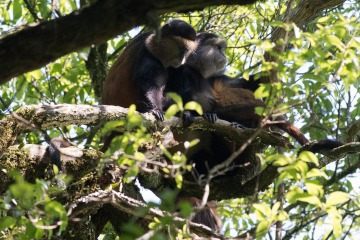 Golden Monkeys || Mgahinga Gorilla National Park, Uganda