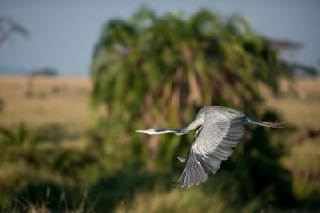 Grey Heron Flight 1 || Serengeti National Park, Tanzania