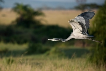 Grey Heron Flight 2 || Serengeti National Park, Tanzania