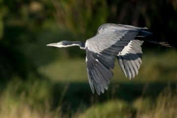 Grey Heron Flight 3 || Serengeti National Park, Tanzania