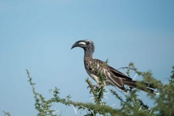 Grey Hornbill || Serengeti National Park, Tanzania