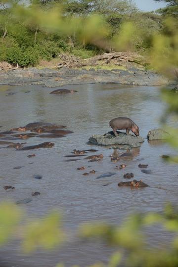 Hippopotamus || Serengeti National Park, Tanzania