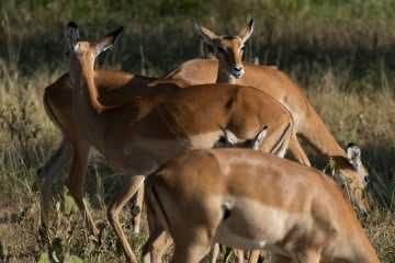Impala || Serengeti National Park, Tanzania