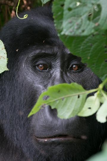 Kahungye Gorilla || Bwindi Impenetrable National Park, Uganda