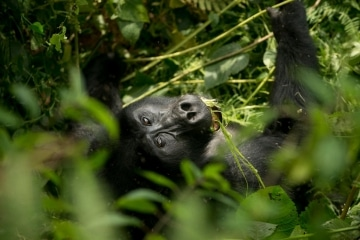 Kahungye Gorilla Family || Bwindi Impenetrable National Park, Uganda
