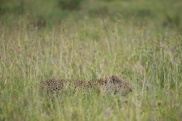 Leopard Hunt || Serengeti National Park, Tanzania