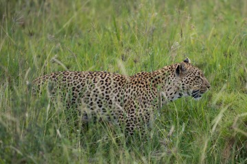Leopard Watch || Serengeti National Park, Tanzania