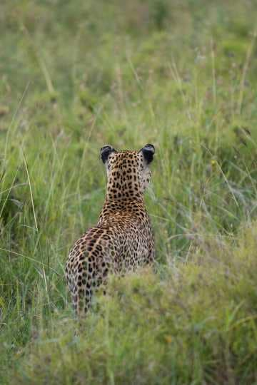 Leopard Watching || Serengeti National Park, Tanzania