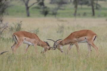 Male Impala Sparing || Serengeti National Park, Tanzania