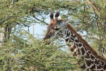 Masai Giraffe || Serengeti National Park, Tanzania