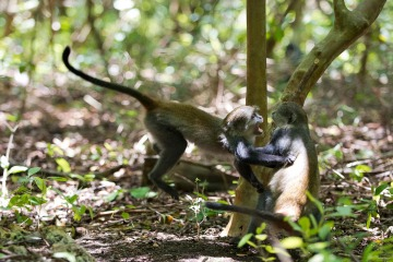 Monkeying Around || Jozani Chwaka Bay National Park, Zanzibar