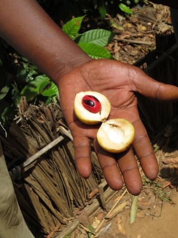 Nutmeg and Mace || Zanzibar