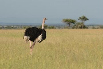 Ostrich || Serengeti National Park, Tanzania