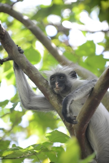 Red Colobus Monkey || Jozani Chwaka Bay National Park, Zanzibar