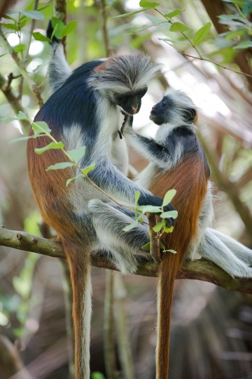 Red Colobus Monkey Mother Nursing || Jozani Chwaka Bay National Park, Zanzibar