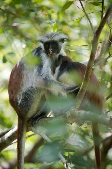 Red Colobus Monkey Mother and Child || Jozani Chwaka Bay National Park, Zanzibar
