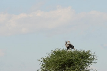 Secretary Bird || Serengeti National Park, Tanzania