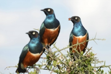 Superb Starling || Serengeti National Park, Tanzania