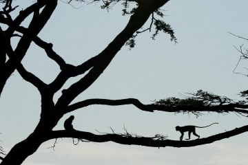 Vervet Monkeys || Serengeti National Park, Tanzania