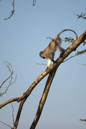 Vervet monkey || Serengeti National Park, Tanzania