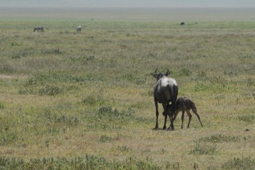 Wildebeest and Calf || Ngorongoro Crater, Tanzania