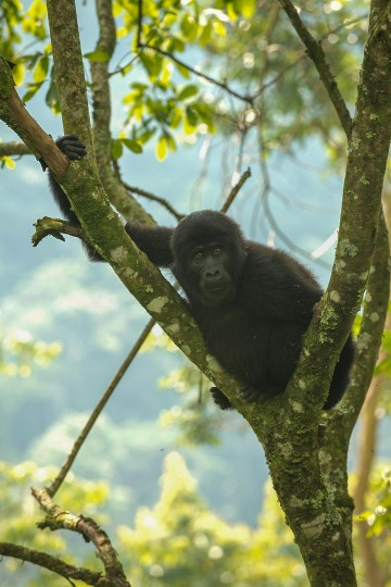 Young Nkuringo Gorilla || Bwindi Impenetrable National Park, Uganda