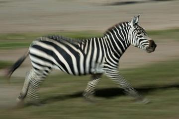 Zebra Run || Ngorongoro Crater, Tanzania