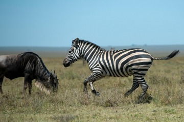 Zebra and Wildebeest || Serengeti National Park, Tanzania