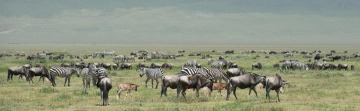 Zebra and Wildebeest on the Serengeti || Ngorongoro Crater, Tanzania