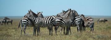 Zebras || Serengeti National Park, Tanzania