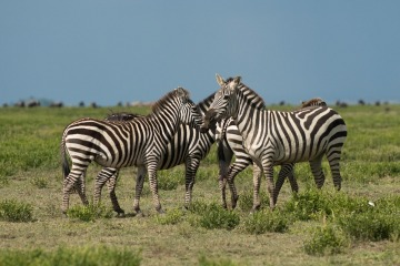 Zebras of the Serengeti || Serengeti National Park, Tanzania