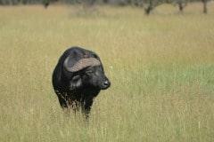 African Buffalo and Red-billed Oxpecker || Serengeti National Park, Tanzania
