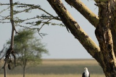 African Fish Eagle || Serengeti National Park, Tanzania