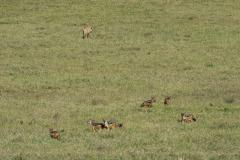 Black-backed Jackal and Lion Spar over Kill || Ngorongoro Crater, Tanzania