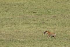Black-backed Jackal with Lion Kill || Ngorongoro Crater, Tanzania