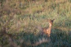 Dik-dik || Serengeti National Park, Tanzania