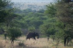 Elephant Stroll || Serengeti National Park, Tanzania