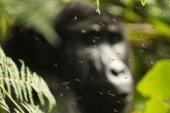 Flies Surround a Kahungye Gorilla || Bwindi Impenetrable National Park, Uganda