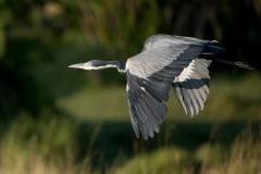 Grey Heron Flight 3 || Serengeti National Park, Tanzania