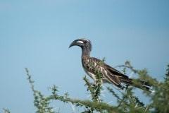 Grey Hornbill || Serengeti National Park, Tanzania